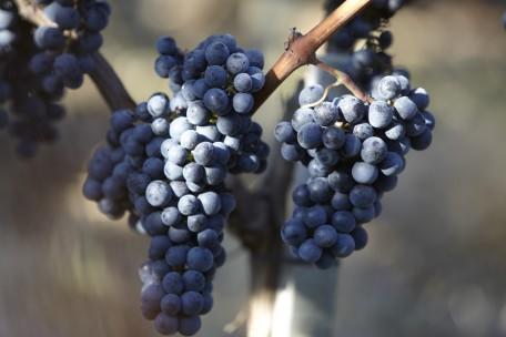 Les raisins de grande qualité de Xavier Beaumartin