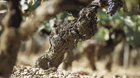 Pied de vigne au Château Hannetot Pessac Léognan (Xavier Beaumartin)